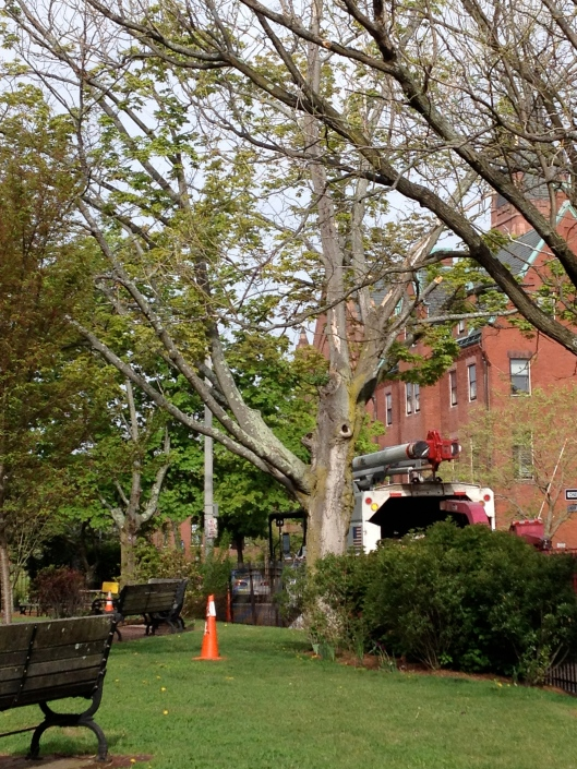 The ailing maple tree