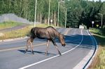 220px-Moose_crossing_a_road-1