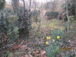 Daffodils in Grantchester, Cambridgeshire, on January 31st.